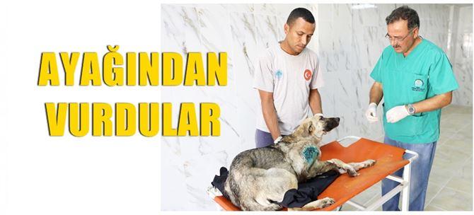 Ayağından vurulan köpek tedavi altına alındı
