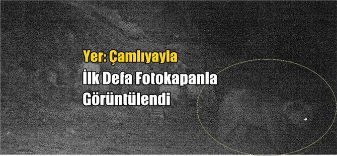 Çamlıyayla'da O Hayvan Fotokapanla İlk Kez Görüntülendi