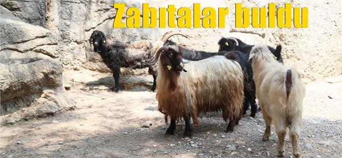 Keçiler Tarsus Hayvanat Bahçesinde misafir edildiler!