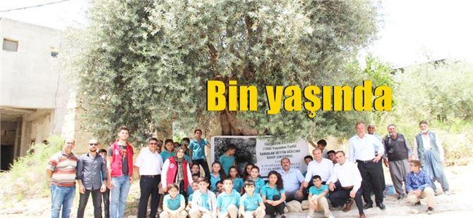 Sarıulak Zeytin ağacının Anıt Ağaç olarak tescili istenecek
