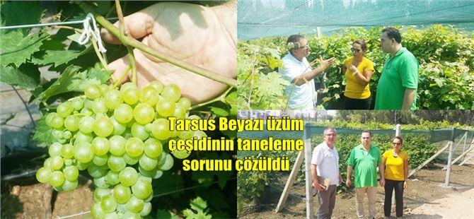 Tarsus Beyazı üzüm çeşidinin taneleme sorunu çözüldü