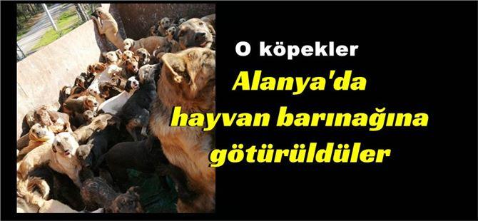 Mersin'e bırakılmak istenen köpekler, Alanya'da barınağa götürüldü