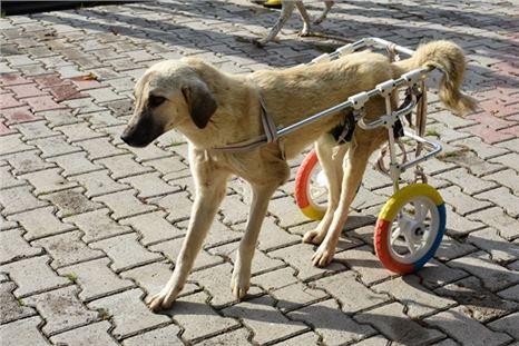 Tarsus'ta yürüme engelli hayvanlar yürüteç ile hayata bağlandı