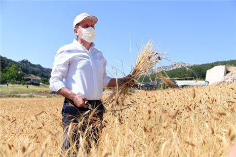 Seçer, Ata tohumu sarı buğdayın ilk hasadını gerçekleştirdi