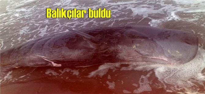 Adana'da nehrin döküldüğü yere ölü balina vurdu