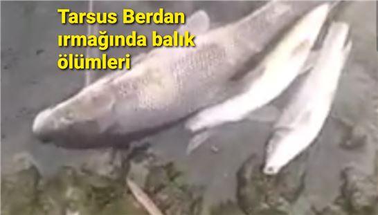 Tarsus Berdan ırmağında balık ölümleri