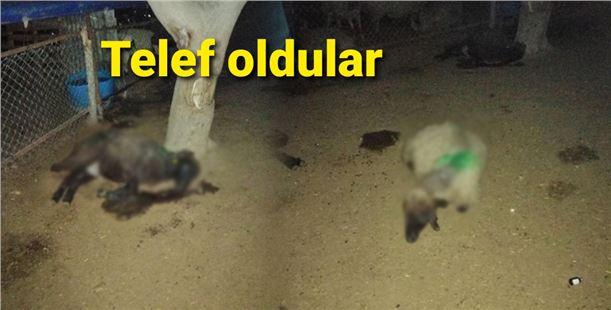 Mersin'de besicinin 14 koyunu telef oldu