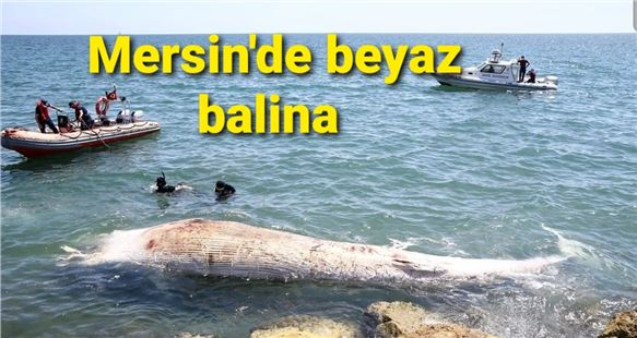 Mersin sahillerinde beyaz balina